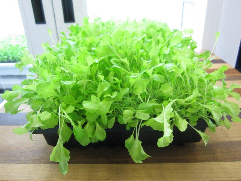 lettuce-2-1024x768-8897941