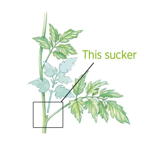 sucker-5651850