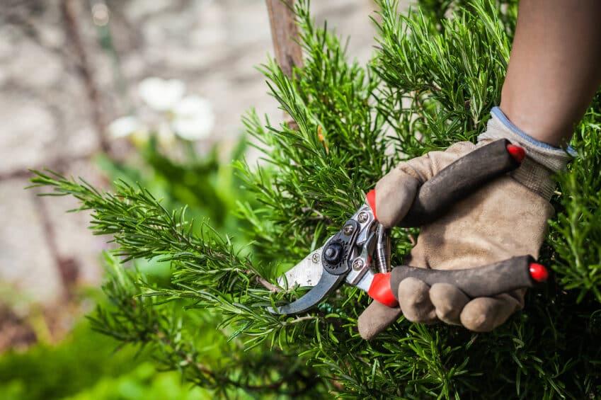 pruning-rosemary-3829498