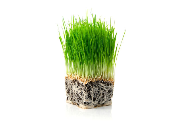 wheat-grass-1-4665254