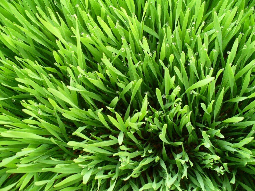 wheatgrass1-1024x768-5146798