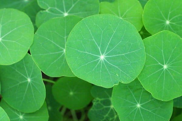 nasturtium-leaves-texture-520x777-4013456