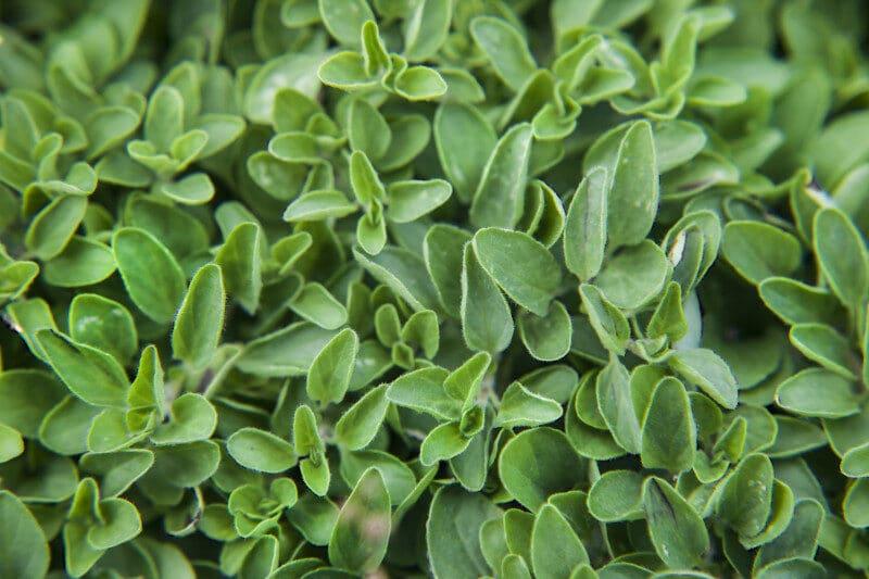 spanish-oregano-leaves-3_medium-7964734