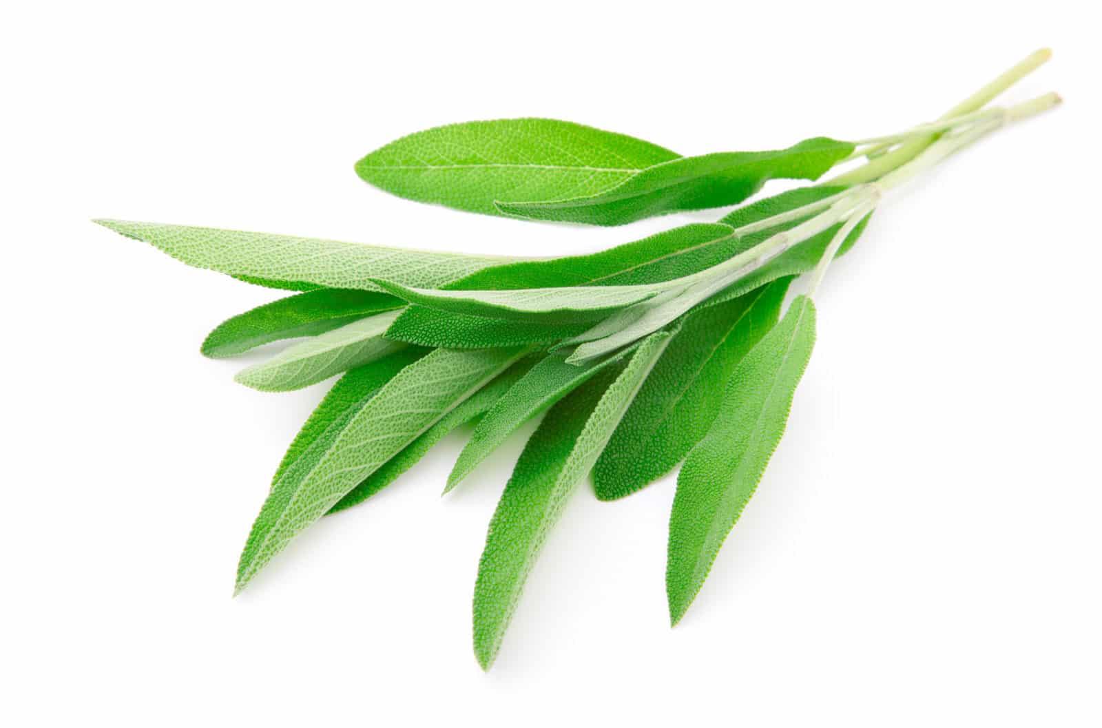 fresh-sage-leaves-6966691