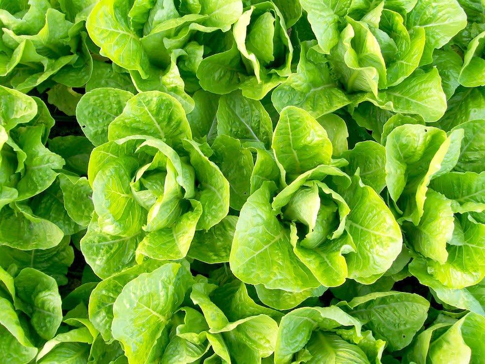 lettuce-romaine-jericho_lrg-1-8759808