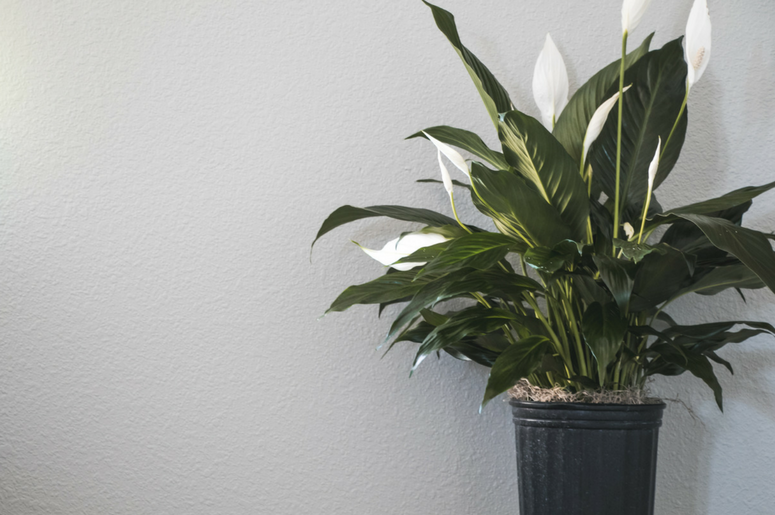 how-to-water-a-peace-lily-1411566