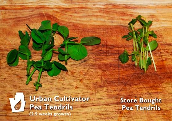 Urban Cultivator Pea Tendrils